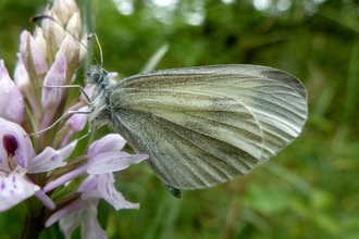 Wood White Butterfly - Mike Williams