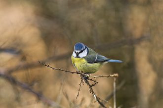 Blue tit - Harry Hogg
