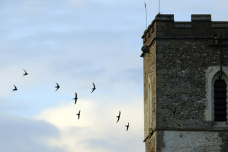 Swifts around Church tower