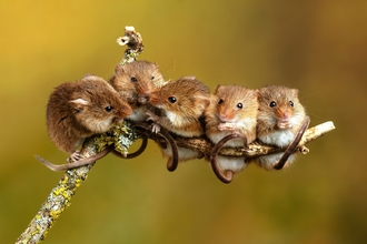 Harvest mice on stick