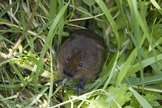 Water vole looking up