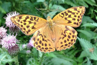 Butterfly Photograph Silver-washed Fritillary