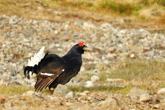 Black grouse by Mike Bell