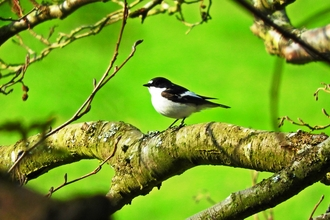 Pied Flycatcher by Mike Bell
