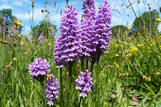 Photograph showing Heath Spotted Orchid