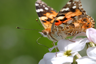 Painted Lady - Jon Hawkins Surrey Hills Photography