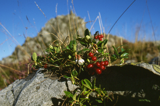 Cowberry on Stiperstones