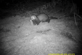 Camera trap polecat