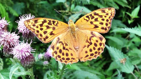 Photograph of silver washed fritillary to accompany Butterfly Talk