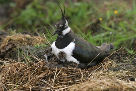 Lapwing with chick