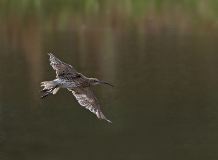 Shropshire Curlew Appeal