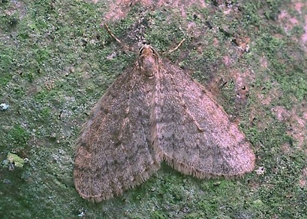 Winter moth (male)