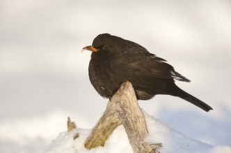 Blackbird snow garden