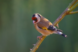 goldfinch small garden bird