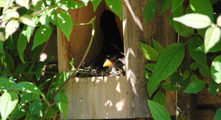 Blackbird in nest box